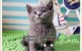猫舍繁育纯种蓝猫宝宝-价格美丽可上门挑选