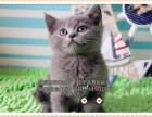 高端精品蓝猫CFA高品质种猫繁殖可视频可空运