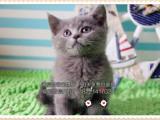 精品包子脸蓝猫纯种健康保证欢迎实地挑选