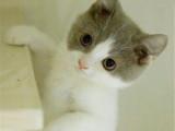 江苏苏州英国短毛猫蓝白幼猫怎么买