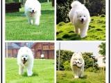 本地里有犬舍 雪白天使萨摩耶