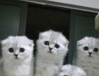 猫舍出售纯种折耳猫 品种多样 无病无藓 签协议
