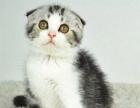 高端家庭繁育纯种苏格兰折耳猫长毛高地猫