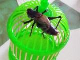 四季春虫艺虫具北方铁蝈蝈绿蝈蝈