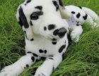 精品斑点犬包纯种保健康签协议出售全国可飞可上门