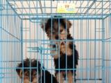精品约克夏幼犬找新家驱虫疫苗全部完成终身质保签订售后协议