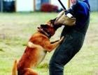 珠海专业宠物狗狗训练 工作犬训练 飞盘犬训练 训犬学校