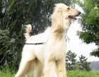 泉州哪有阿富汗猎犬卖 泉州阿富汗猎犬价格 阿富汗猎犬多少钱