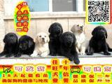 专业繁殖 拉布拉多幼犬 品质健康有保障 可看狗父母