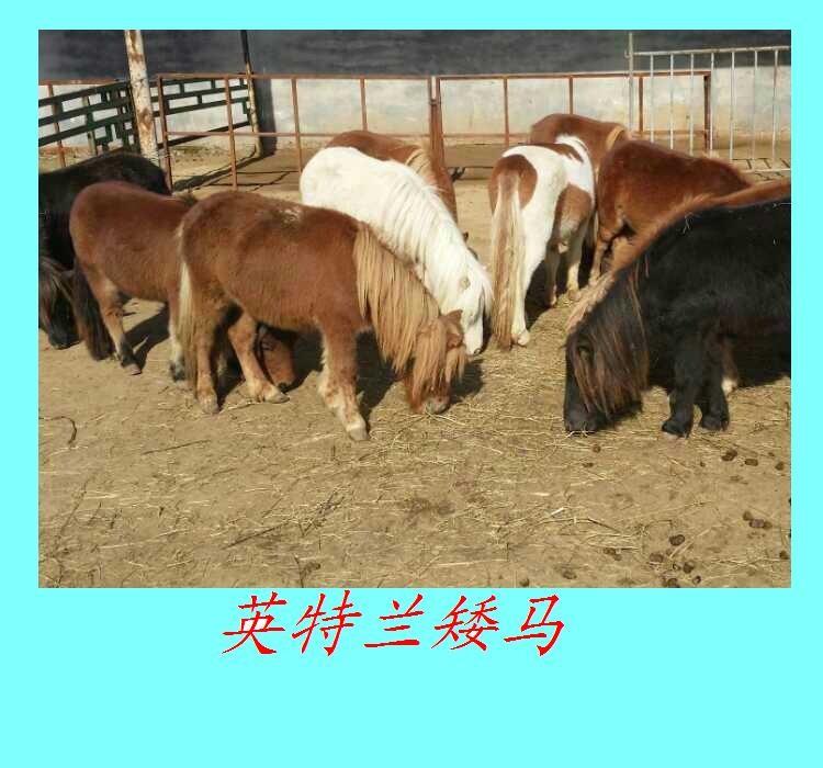 成都养马场出售租赁德保矮马宠物马半血马价格低免费运输