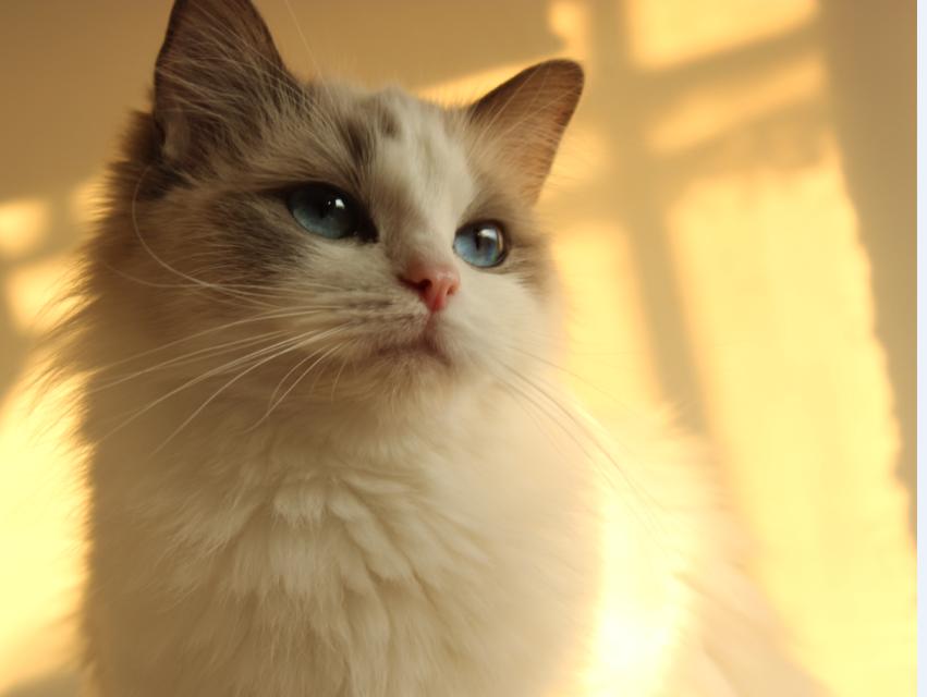 聊城本地布偶猫 CFA血统 纯种猫 活体 海豹双色