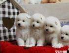 上海哪里可以免费领养小狗狗 萨摩耶在上海哪里可以领养到