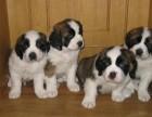 天津哪有圣伯纳犬卖 天津圣伯纳犬图片 天津圣伯纳犬多少钱