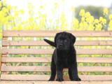 辽宁大连 拉布拉多幼犬一般多少钱