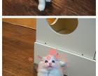 布偶猫多少钱一只 潮州哪里有卖布偶猫 布偶猫图片