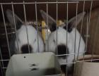 出生宠物兔獭兔垂耳兔