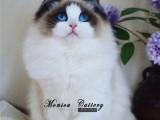 CFA注册猫舍出售纯种健康布偶猫幼猫双血带证可上门挑选