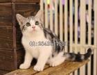 重庆在哪里买纯种健康宠物猫 重庆那里有卖美短幼崽