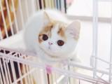 大连哪里卖健康的加菲猫 加菲猫价格是多少 大连加菲猫多少钱