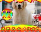 金毛 專業品質 梨園盛輝名犬 保健康 帶血統證