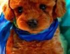 广州哪里有卖健康泰迪熊 娃娃脸泰迪实体狗场疫苗做齐签协议