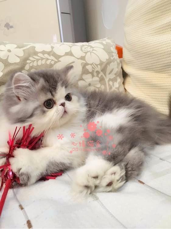 乌鲁木齐哪里的加菲猫比较便宜乌鲁木齐什么地方可以买到加菲猫
