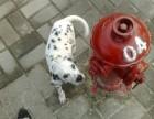福州哪有斑点狗犬卖 福州斑点狗犬价格 福州斑点狗犬多少钱
