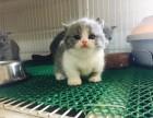 曼基康矮脚猫 曼奇金 短腿猫 拿破仑 矮脚猫