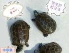 巴西红耳龟,中华草龟