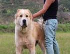 赛级中亚牧羊犬血统纯正冠军级品质保障 纯种中亚牧羊犬幼崽