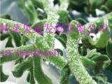 日本冰菜种子