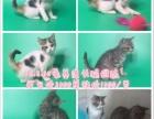 自养品种猫出售