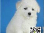 微笑天使萨摩耶宠物狗出售,健康纯种,多只可挑选
