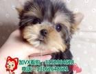 可爱约克夏犬健康纯种签订售后协议