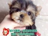 可爱约克夏犬——健康纯种签订售后协议