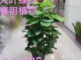 广州绿萝批发订发财树金钱树开业植物 送货快服务好