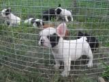 纯种奶白奶油虎斑和黑色花色法国斗牛犬 包健康