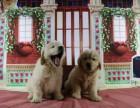 犬舍专业繁殖纯种英系金毛丨宠物绅士家庭爱犬