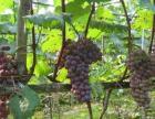 葡萄熟了做葡萄酒专用农村自种好大好甜的品种等您来选