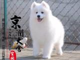 丽江哪里有卖萨摩耶犬的