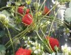 绿色无公害草莓采摘一日游