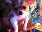 世界最小茶杯犬,墨西哥吉娃娃,苹果头,鲨鱼嘴,包