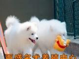 纯种萨摩耶犬 微笑萨摩犬 雪白天使 笑脸萨摩 终身品质保障