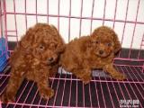 良心犬业丨卖健康宠物丨泰迪红贵宾丨签协议活 优惠多多