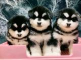 东莞 本地出售阿拉斯加幼犬狗狗包健康纯种售后无忧