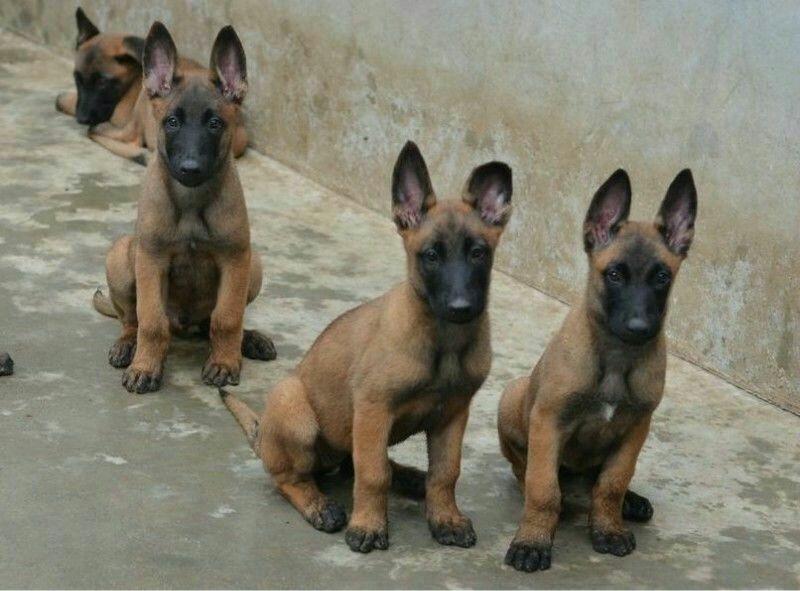 纯种马犬 血统马犬 包健康 马犬价格