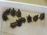 底价出10只南石老种龟头苗