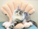 蓝田猫舍繁育宠物猫活体 现货下单当天立即发货