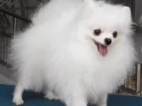出售纯种博美犬 博美幼犬 小体博美 品质好信誉高质量保