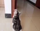 自家养的美短加白猫,虎斑,起司猫出售 猫爸带证单C
